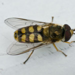 Eupeodes luniger - a hoverfly, photographed 24 July 2009 by B Crowley