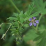 Small-flowered cranesbill, photographed 4 June 2005 by B Crowley