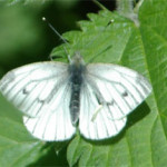 Green-veined white, photographed 15 May 2005 by L Pasquire
