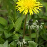 Dandelion (Taraxacum officinale) photographed 5 April 2009 by L Pasquire
