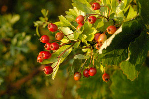 Hawthorn fruit, photographed 14 August 2005 by L Pasquire
