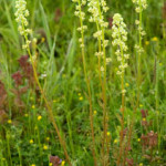 Wild Mignonette, photographed 04 June 2006 by B Crowley