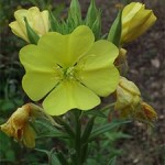 Common evening primrose, photographed 23 July 2005 by B Crowley