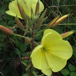 Large flowered evening primrose, photographed 23 July 2005 by B Crowley