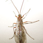 Ophion luteus, an ichneumonid, photographed 26 October 2008 by B Crowley