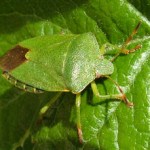 Green Shield Bug (Palomena prasina) photographed 12 May 2009 by S Calvert-Fisher