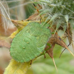 Green Shield Bug (Palomena prasina) nymph, photographed 12 August 2008 by S Calvert-Fisher