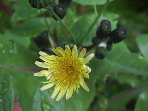 Smooth Sowthistle (Sonchus oleraceus) photographed 22 May 2005 by B Crowley