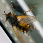 Tachina fera - a tachinid fly, photographed 12 September 2009 by B Crowley