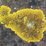 Xanthoria parietina, photographed 24 April 2005 by B Crowley