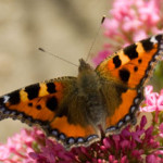 Small Tortoiseshell (Aglais utricae) photographed 14 September 2007 by B Crowley