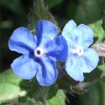 Evergreen Alkanet, photographed 30 May 2005 by B Crowley