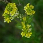 Yellow Rocket (Barbarea vulgaris) ) photographed 14 May 2005 by B Crowley