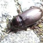 Amara beetle, photographed 27 May 2005 by B Crowley