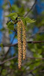 Silver Birch (Betula pendula) catkins, photographed 08 April 2009 by B Crowley