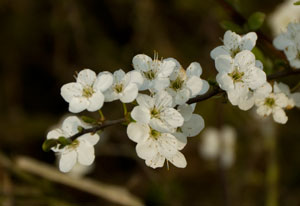 Blackthorn (Prunus spinosa) photographed 05 April 2009 by B Crowley