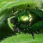 Mint leaf beetle, photographed 17 July 2005 by B Crowley