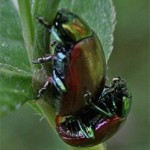 Chrysolina polita, photographed 17 July 2005 by B Crowley