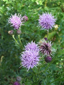 Creeping thistle, photographed 10 July 2005 by B Crowley