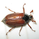 Cockchafer beetle (Melolontha melolontha) photographed 28 May 2008 by B Crowley