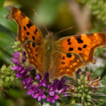 Comma (Polygonia c-album) photographed 14 September 2008 by B Crowley