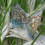 Common Blues mating, photographed 30 May 2005 by B Crowley
