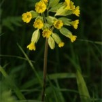 Cowslip, photographed 25/04/2004 by B Crowley