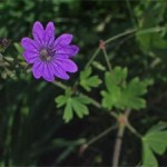 Hedgerow Cranesbill, photographed 30 May 2005 by B Crowley