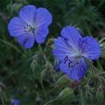 Meadow Cranesbill, photographed 19 June 2005 by B Crowley, ID by Bob Eeles.