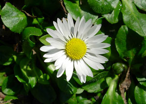 Daisy (bellis perennis) photographed 12 April 2008 by S Calvert-Fisher