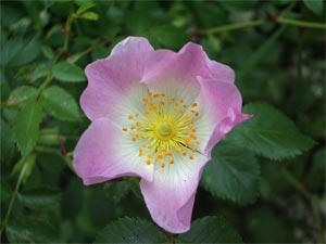 Dog rose, photographed 11 June 2005 by B Crowley