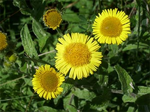 Fleabane, photographed 17 July 2005 by B Crowley
