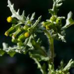 Groundsel (Senecio vulgaris) photographed 8 April 2009 by B Crowley