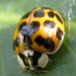 Harlequin ladybird (Harmonia axyridis) photographed 13 July 2008, by B Crowley