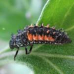 Harlequin ladybird larva, photographed 14 July 2008