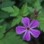 Herb Robert, photographed 4 June 2005 by B Crowley