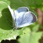 Holly Blue, photographed 2 May 2005 by L Pasquire