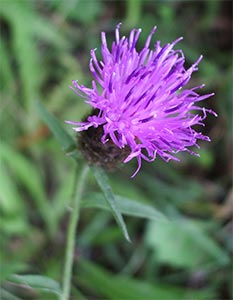 Common knapweed, photographed 31 July 2005 by B Crowley