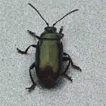 Gastrophysa viridula, a leaf beetle, photographed 24 April 2005 by B Crowley