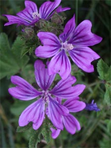 Common mallow, photographed 11 June 2005 by B Crowley