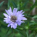 Michaelmas daisy, photographed 14 August 2005 by B Crowley