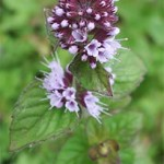 Water mint, photographed 29/07/05 by B Crowley
