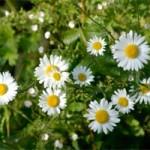 Ox-eye daisies (12 June 2004)