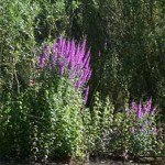 Purple loosestrife, photographed 17 July 2005 by B Crowley