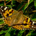 Painted Lady (Cynthia cardui) photographed 10 September 2008, by S Calvert-Fisher