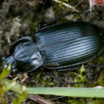 Pterostichus versicolor, photographed 09 July 2009 by B Crowley