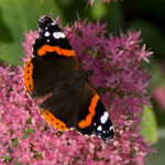 Red Admiral, photographed 15 September 2008 by B Crowley