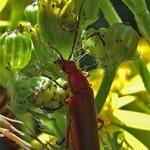 Rhagonycha fulva, photographed 10 July 2005 by B Crowley