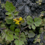 Marsh Yellowcress (Rorippa palustris) photographed 09 July 2009 by B Crowley. ID by J Killick.