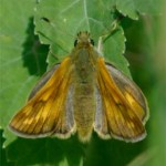 Essex Skipper, photographed 26 June 2005 by L Pasquire